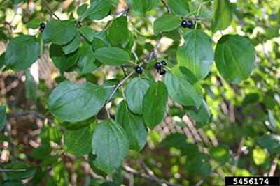 Picture of Glossy Buckthorn (found in wet areas)  Similar to Common Buckthorn, leaves extremely glossy with deep veins and leaf margin is smooth, without teeth.