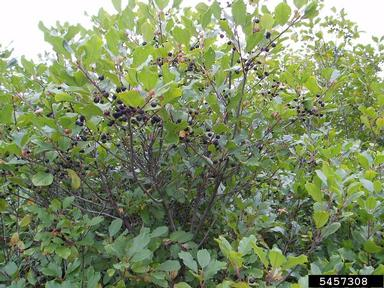 Picture of buckthorn
