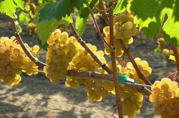 Venturi Schulze Wine Grapes.jpg
