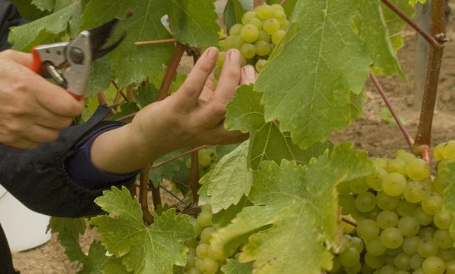 Harvesting Wine Grapes Venturi Schulze Vineyards