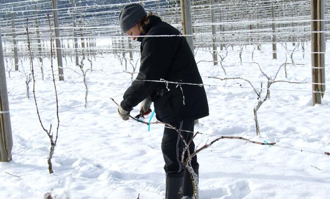 Winter Pruning Wine Grapes Venturi Schulze Vineyards