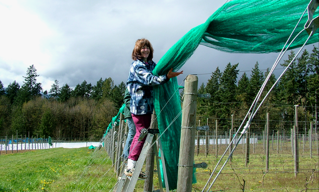 Hanging Bird Netting in the Vineyards Venturi Schulze Vineyards
