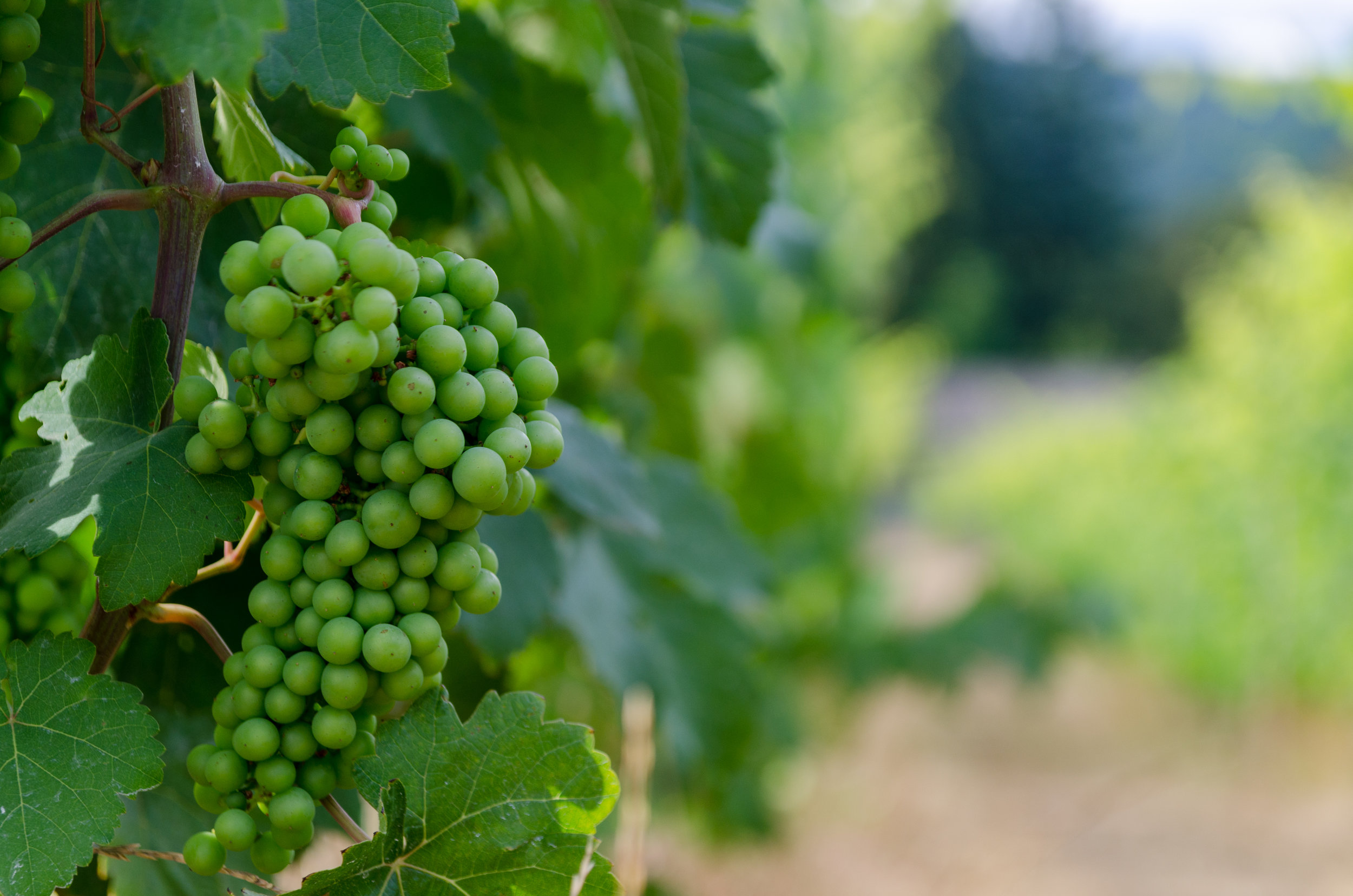 Ripening Wine Grapes Venturi Schulze Vineyards