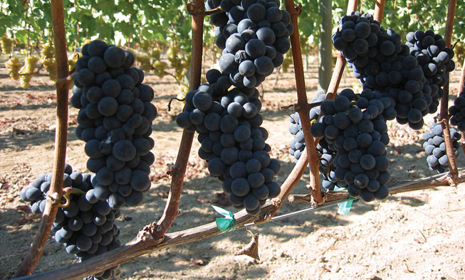 Pinot Noir Wine Grapes Venturi Schulze Vineyards