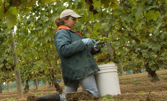 Michelle Picking Wine Grapes Venturi Schulze Vineyards