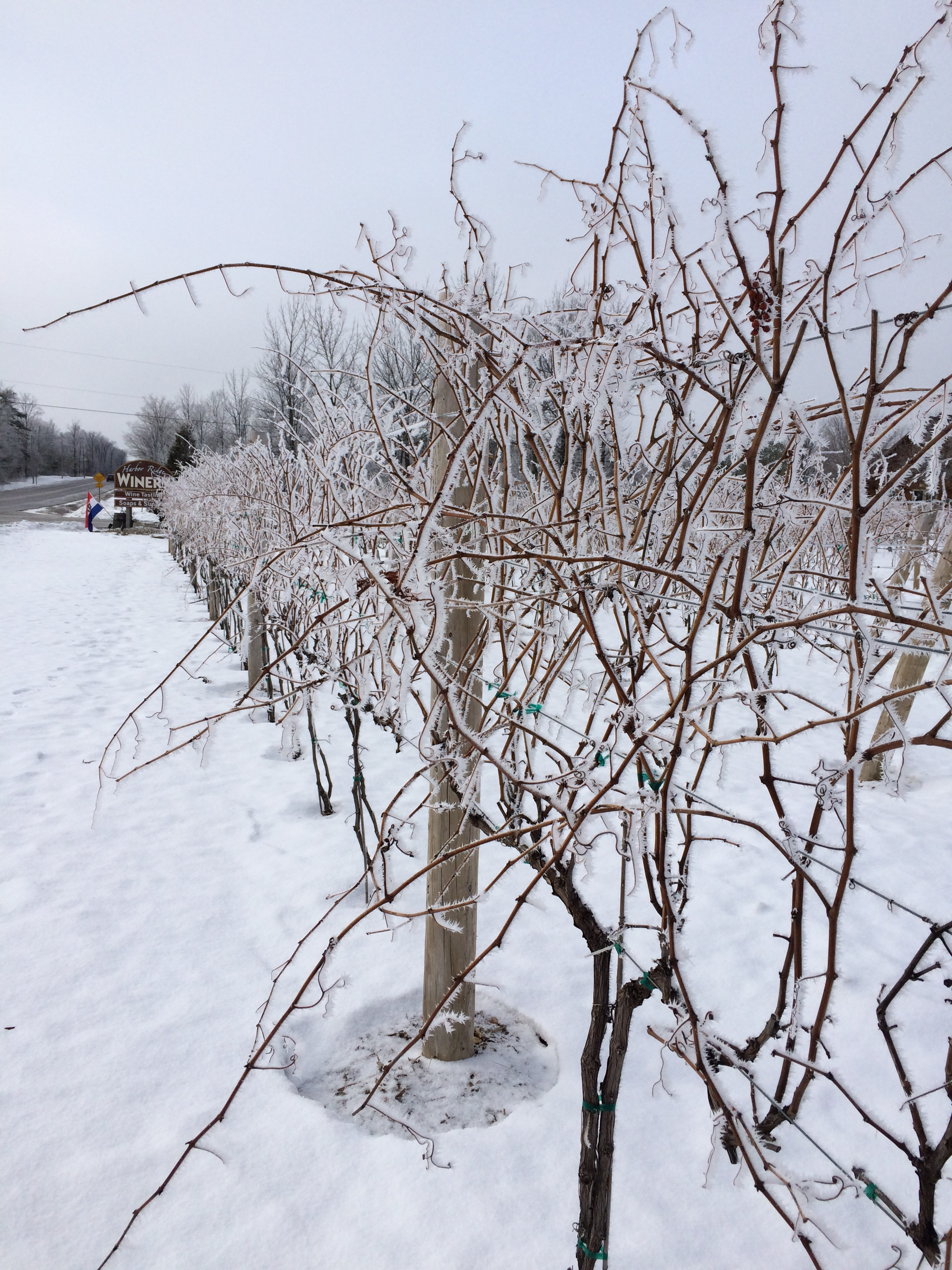 Pictures of our vines in Door County during Winter.