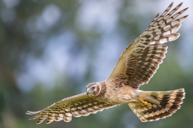 Northern harrier.  Photo ©Adam Stunkel.