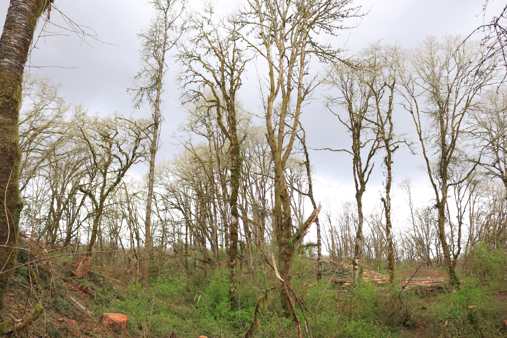 """A crew brought in by the Cowlitz Indian Tribe has been removing fir trees from Ridgefield NWR's Carty Unit since March 18th, creating some """"elbow room"""" for Oregon white oak."""