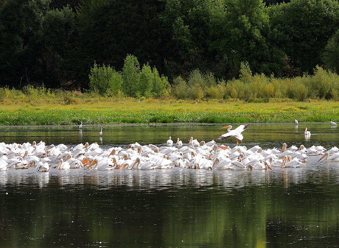 The Carty Lake Trail will get you closer to magic moments, like this uncommon flock of visiting pelicans. ©Terry Anderson