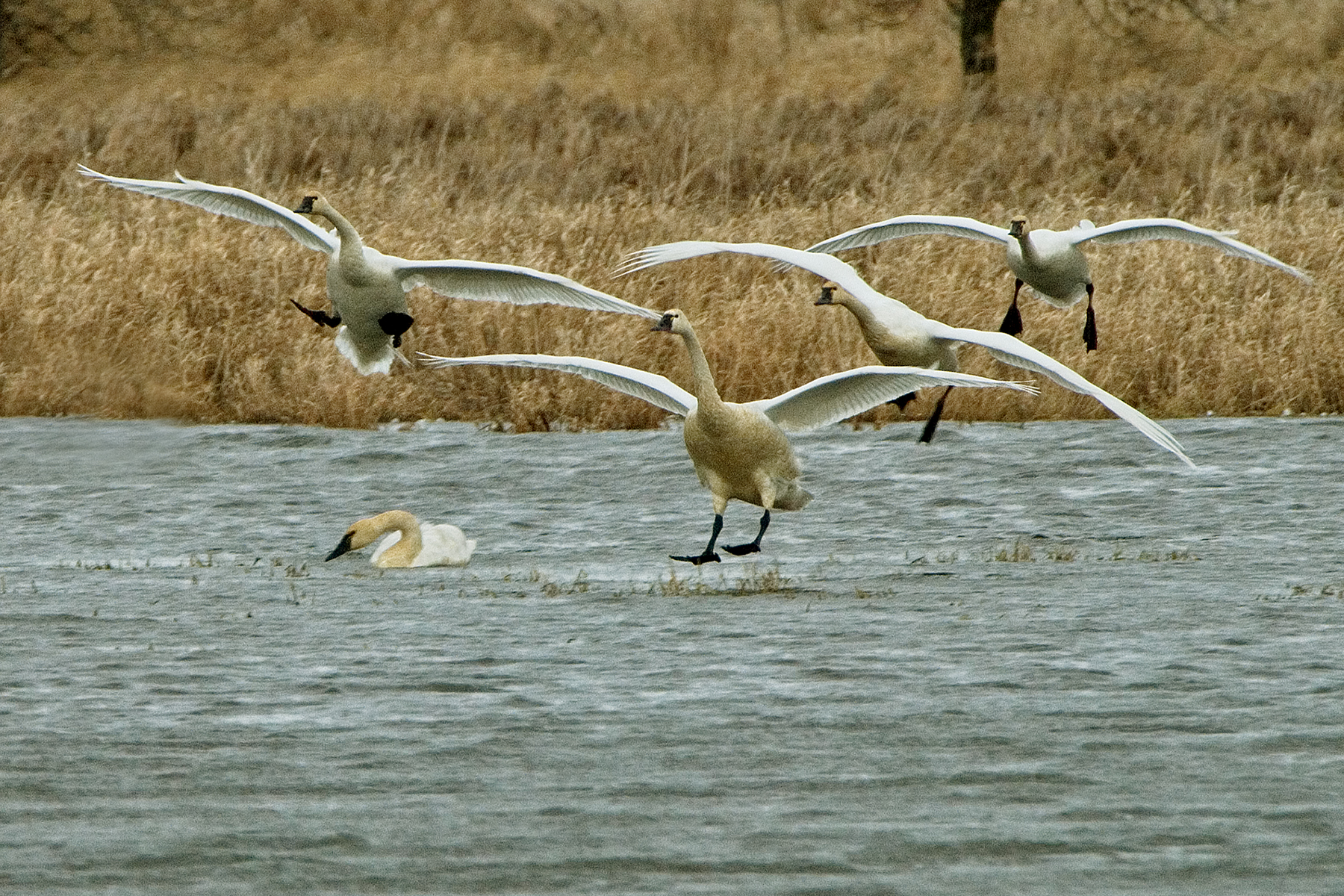 Carty Lake is known for its high concentrations of tundra swans. Photo by USFWS