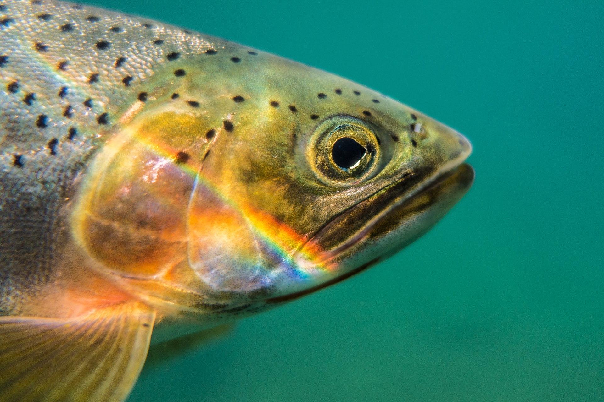 Cutthroat trout will benefit from the project with more resting and rearing habitat in Chicken Creek.