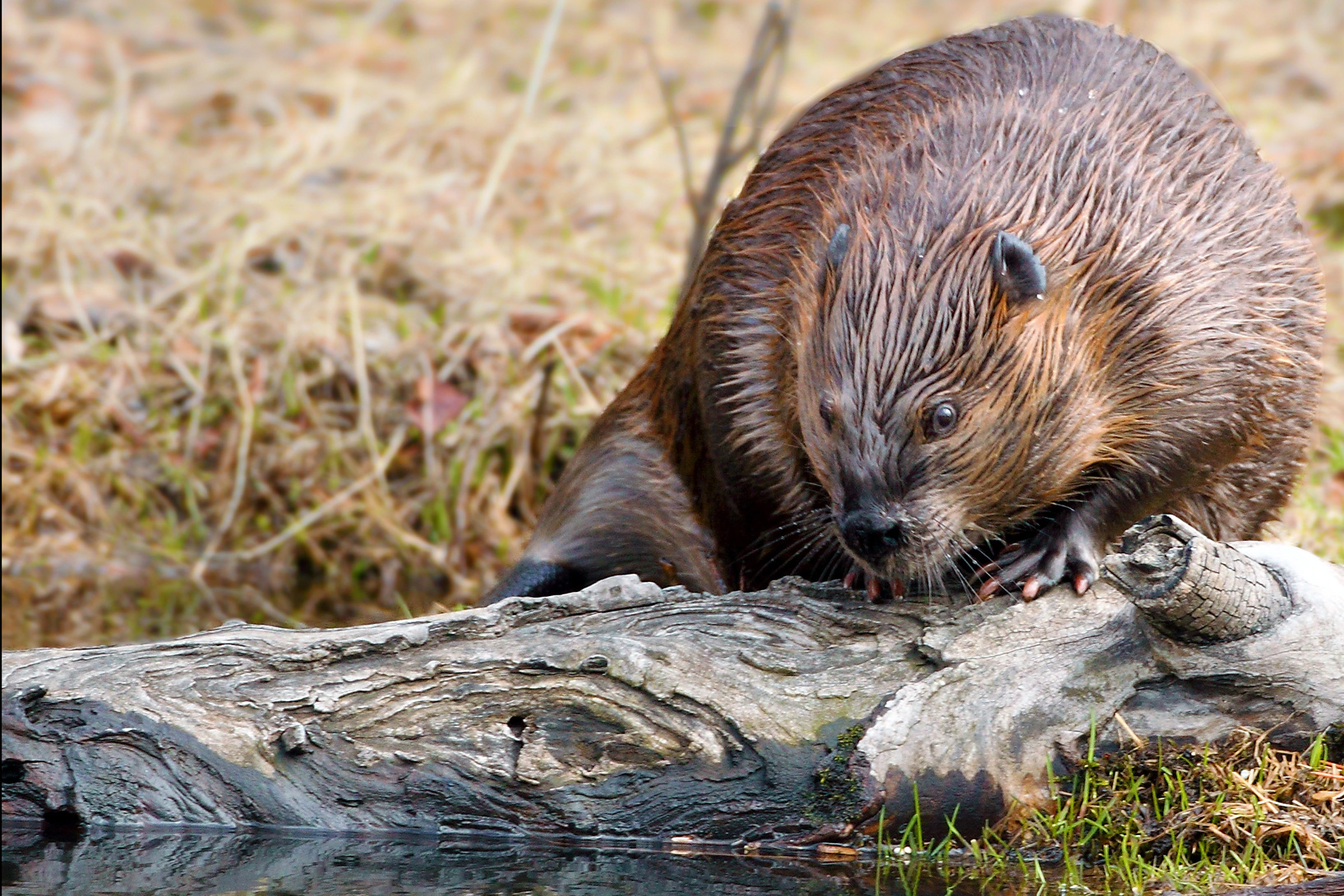 Beaver activity will cause water to pond, leading to a lush, diverse wetland and riparian habitat along Chicken Creek and throughout the project area.
