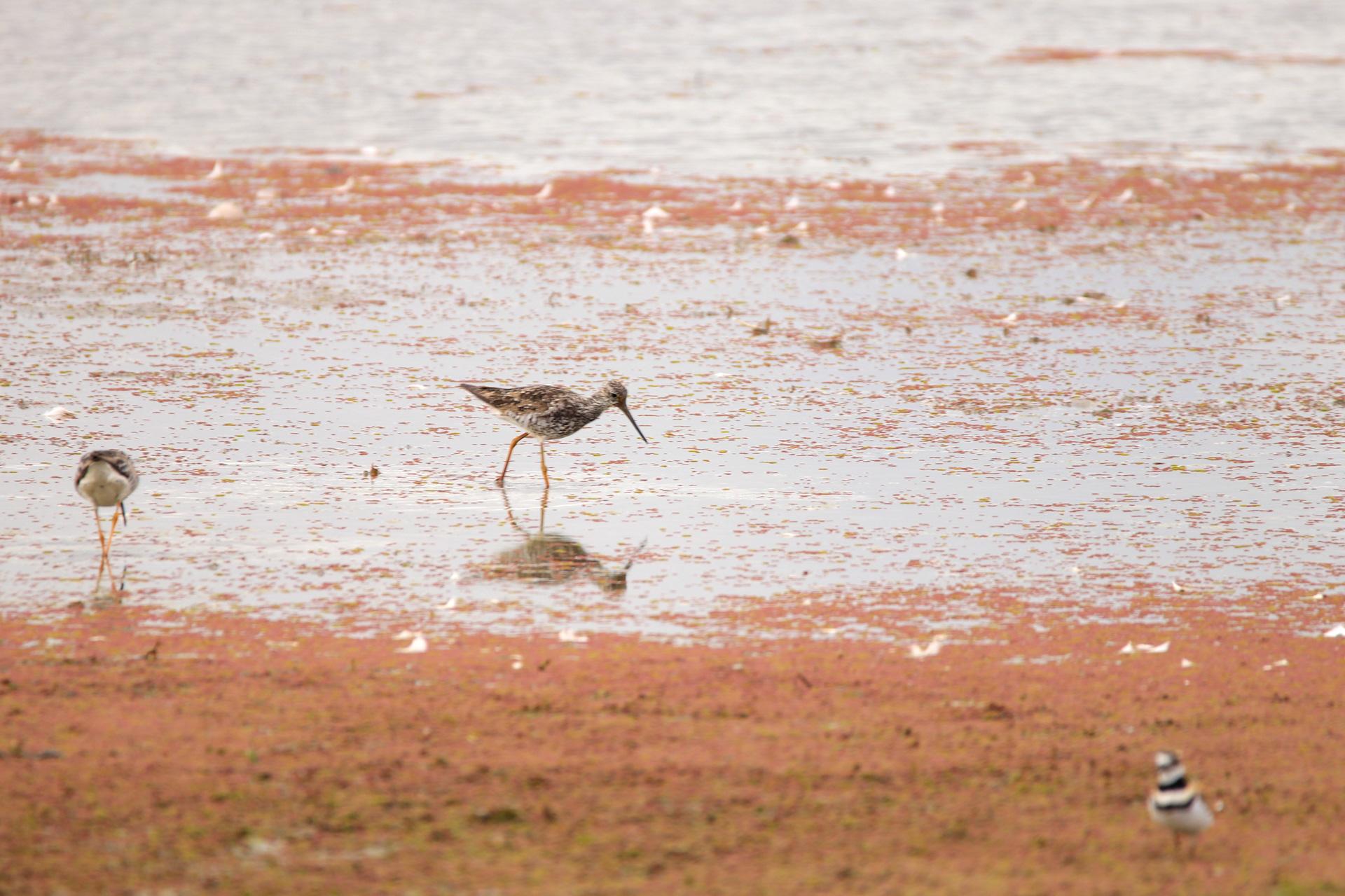 Shorebirds, like greater yellowlegs, are enjoying the mudflats of the drying 2S wetland.