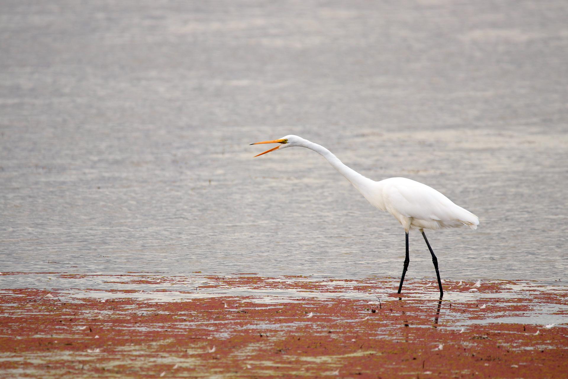 Great-Egret-open-beak.jpg