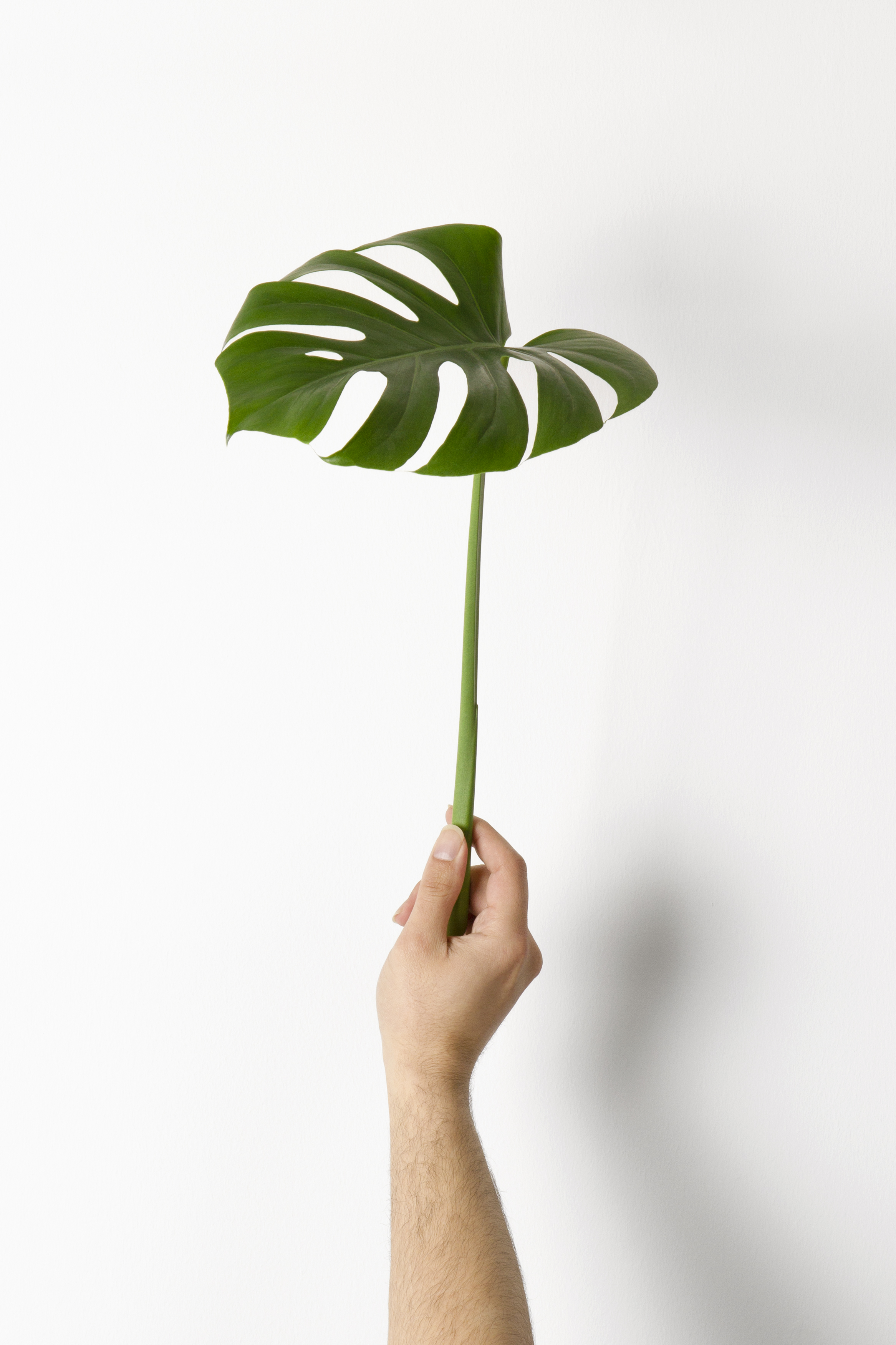 Caring for your monstera