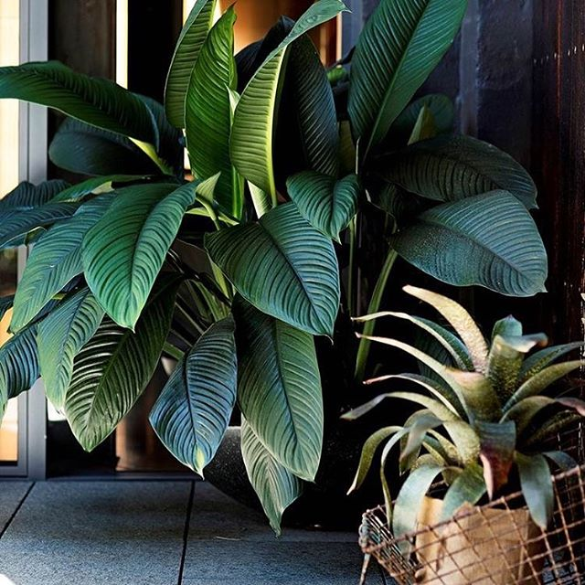 Today's Friday crush is the Giant Spathiphyllum (Spathiphyllum floribundum) is a classic indoor plant grown for its lush green and giant deep strappy leaves.