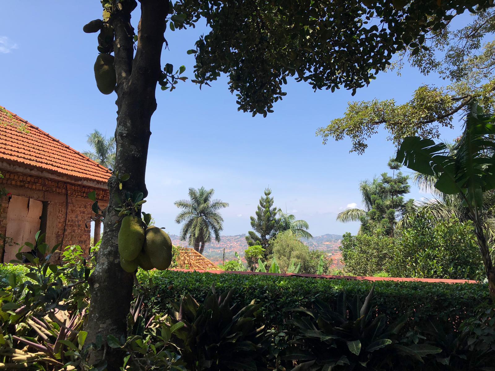 Jackfruits in unserem Garten und ein schöner Ausblick
