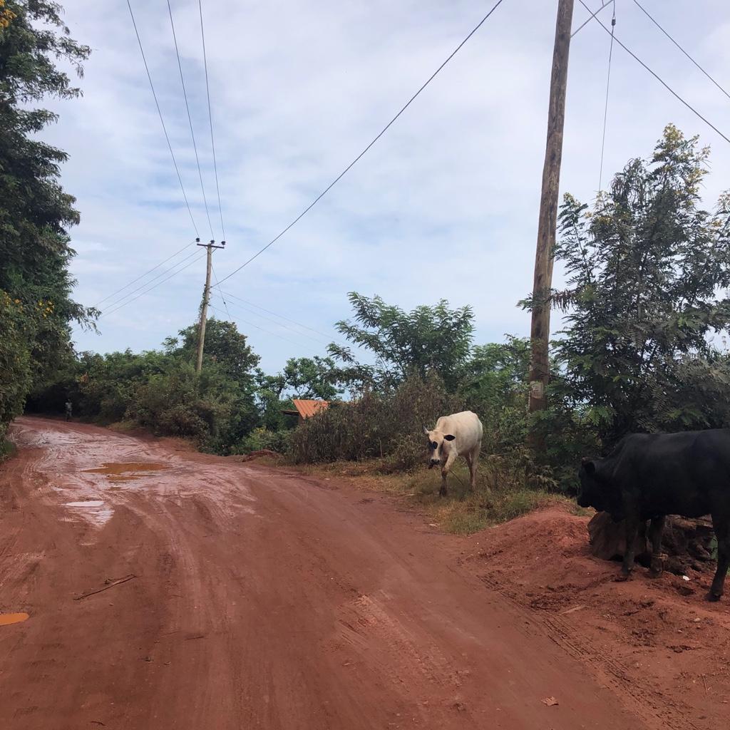 Auf dem Weg nach Hause, den matschigen Hügel hoch - Kühe, Kälber und manchmal Ziegen sind keine Seltenheit auf dem Weg