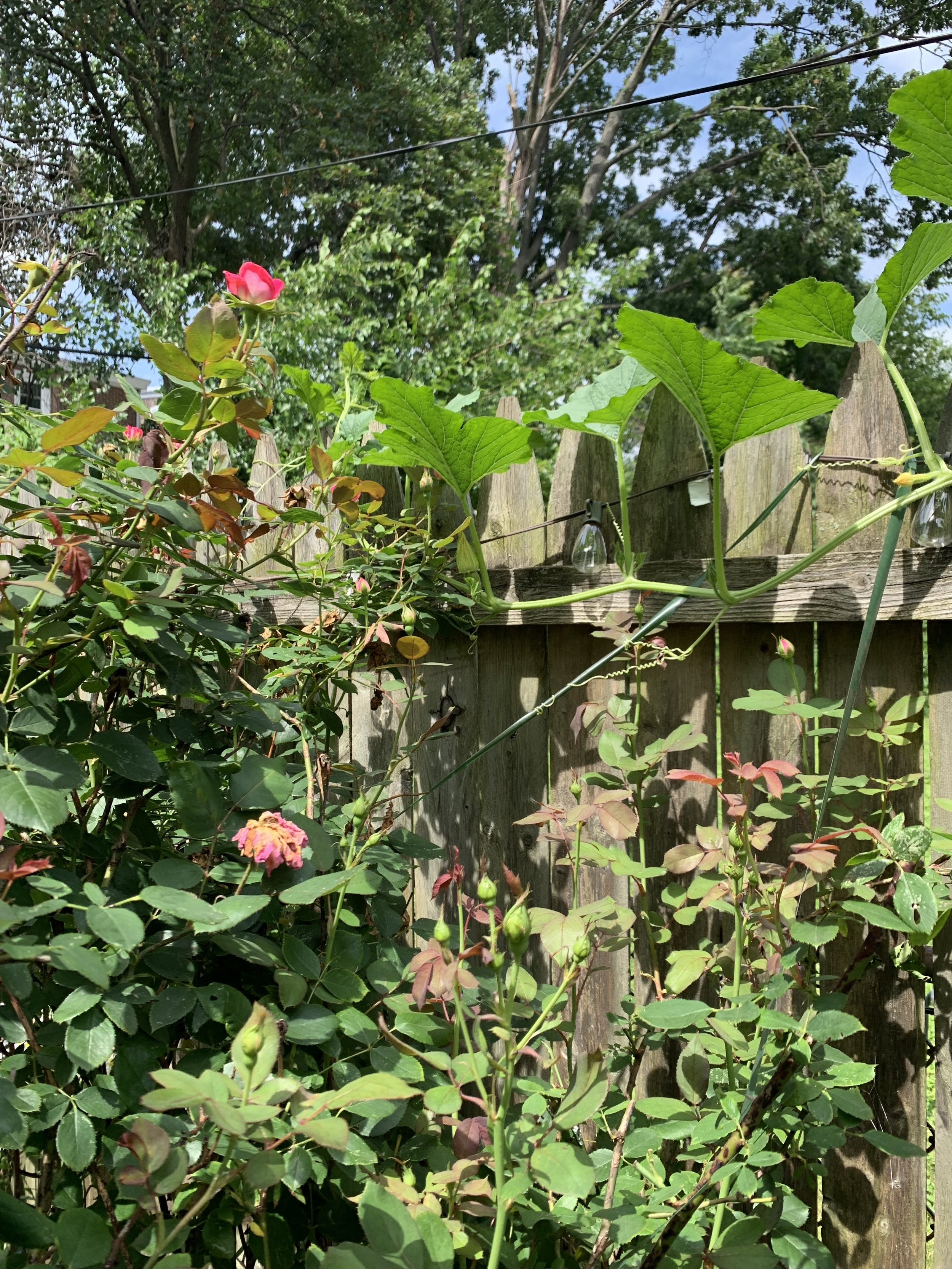 Spaghetti squash trailing along my wooden fence, happily thriving above the rose bushes