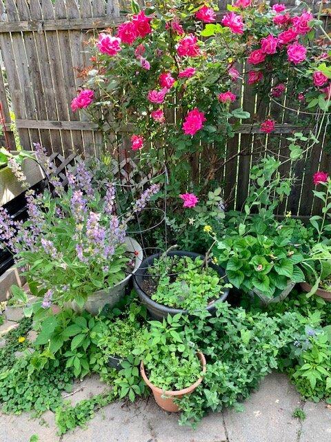 sage plant in garden