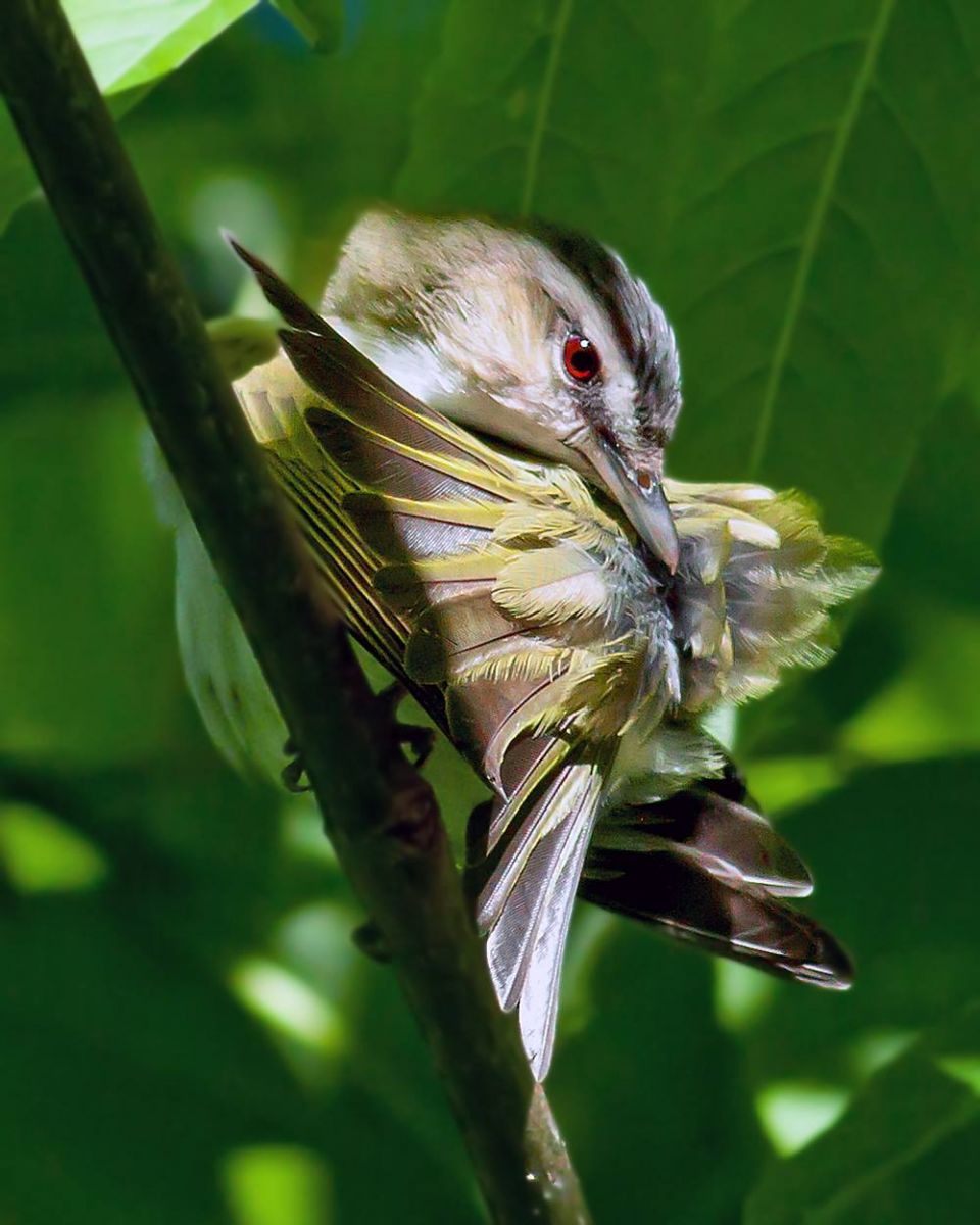 1st Place Winner:  Michael Ferguson. Red-eyed Vireo.