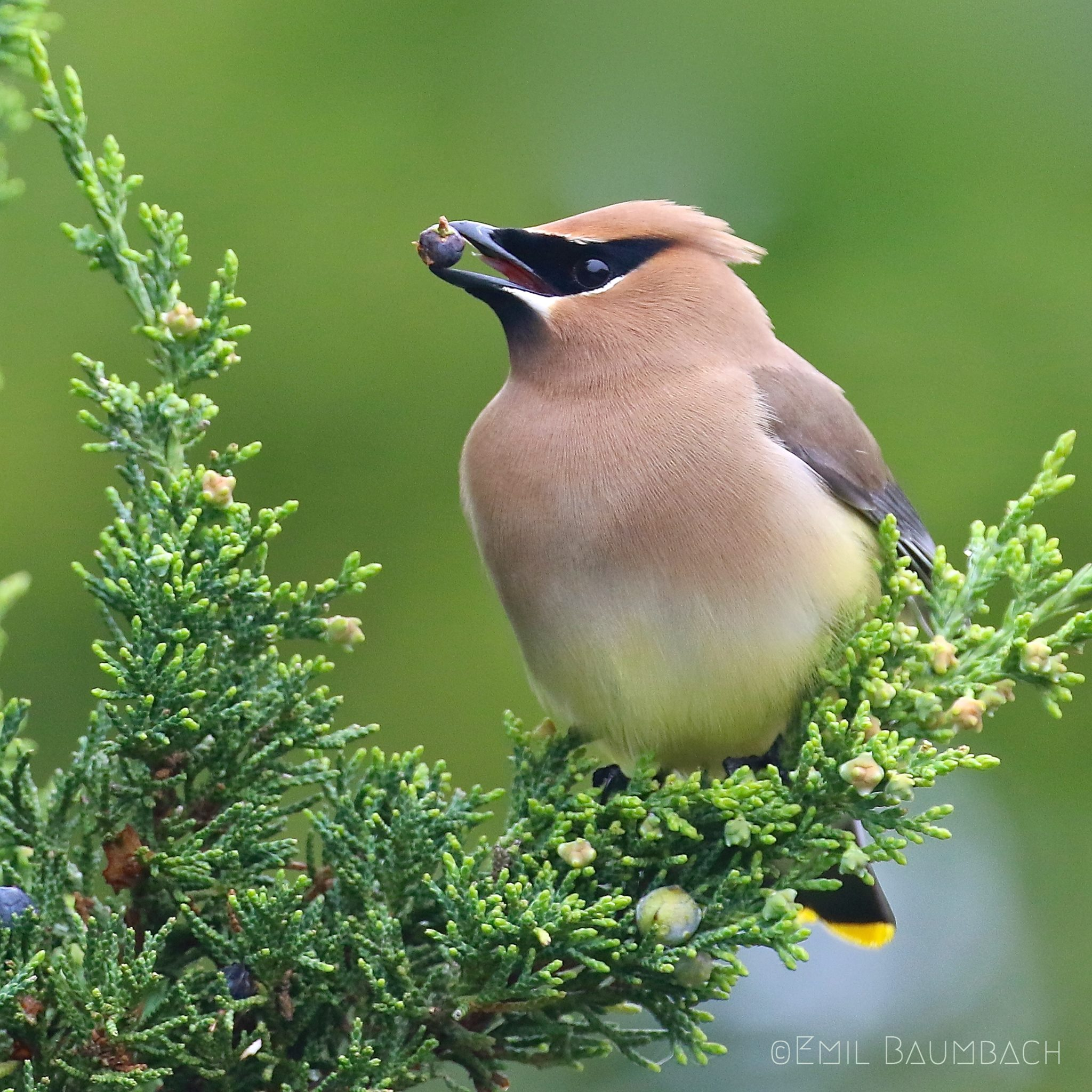 1st place winner: Cedar Waxwing. Photo by Emil Baumbach.