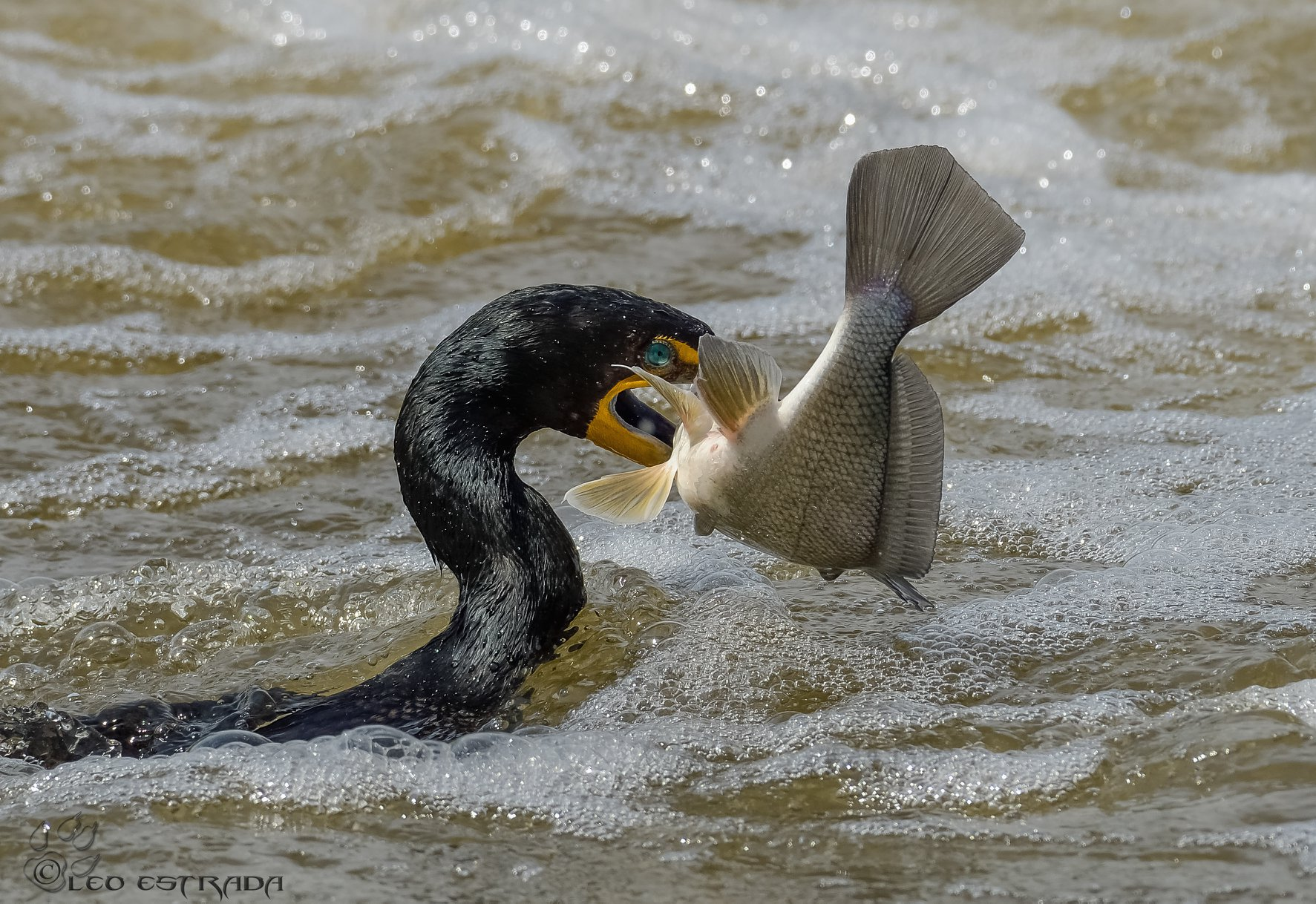 Second Place Winner: Double-crested Cormorant with catfish. Photo by Leo Estrada.