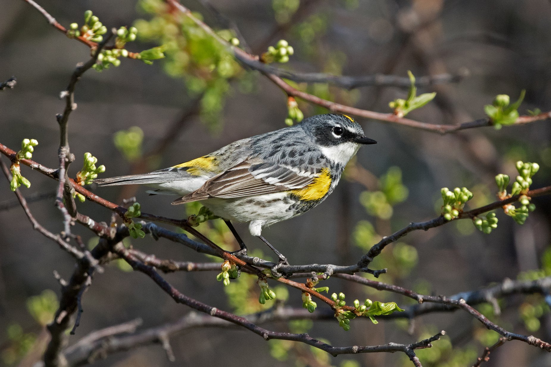 Fourth Place Honorable Mention: Yellow-rumped Warbler. Photo by John Picken.