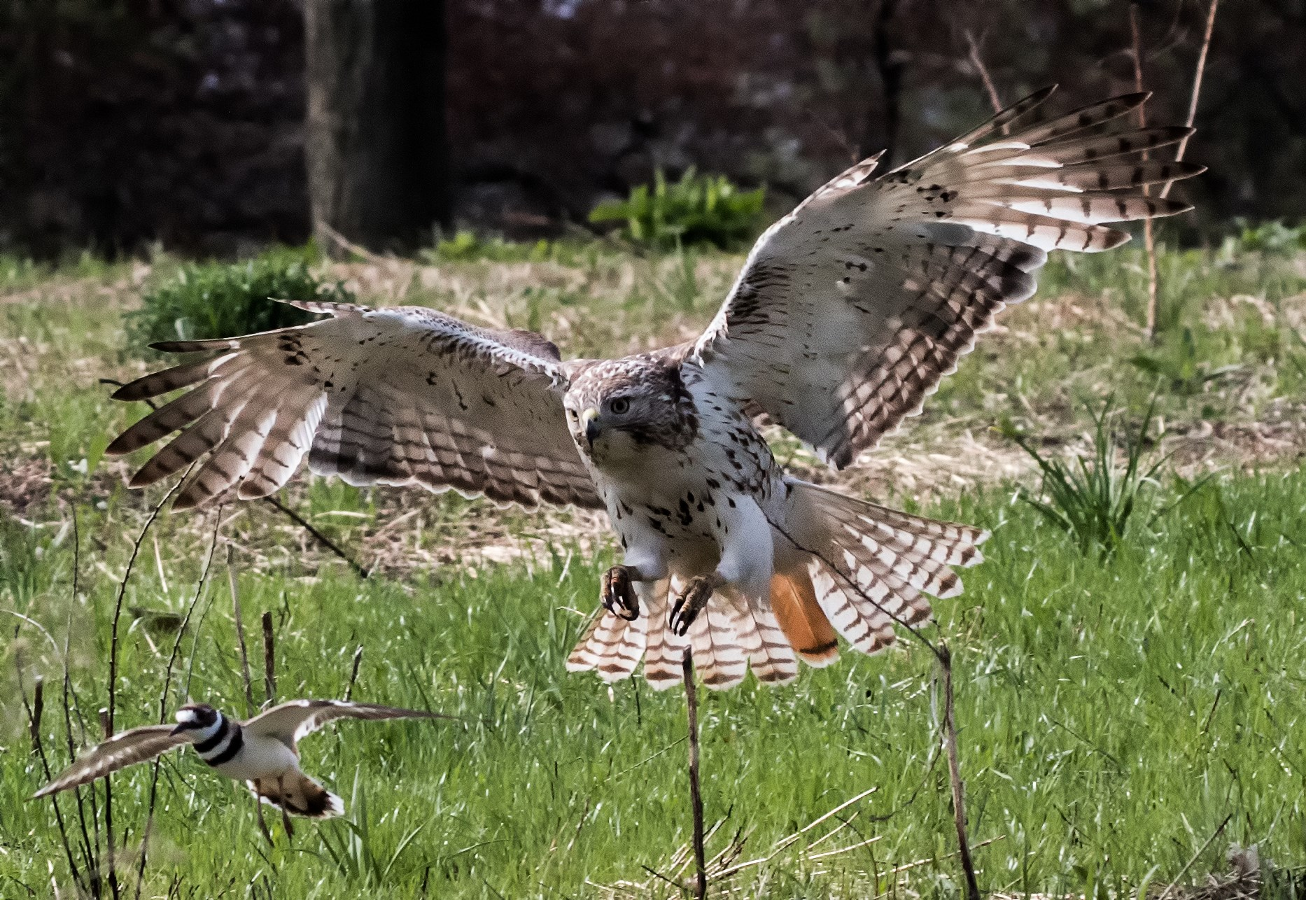 Fifth Place Honorable Mention Red-tailed Hawk pursuing Killdeer. Photo by Demayne Murphy.