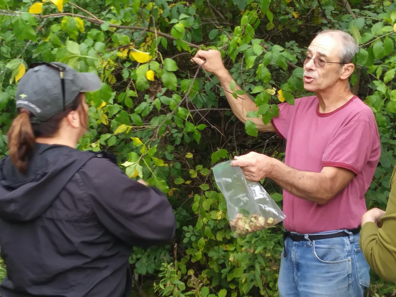 Steward Ken Schaefer collecting seeds from native bladdernut shrubs at Camp Pine