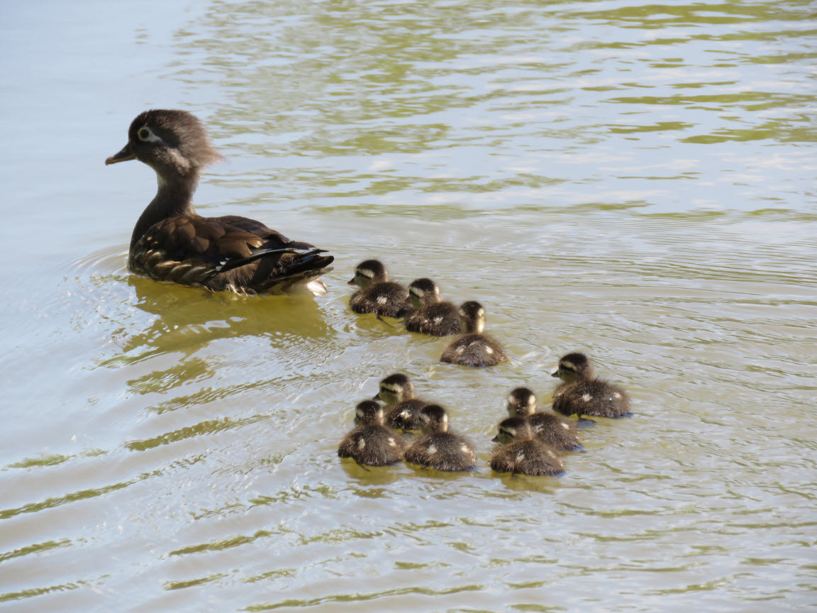 Female wood duck with ducklings, photo: Eric Gyllanhaal