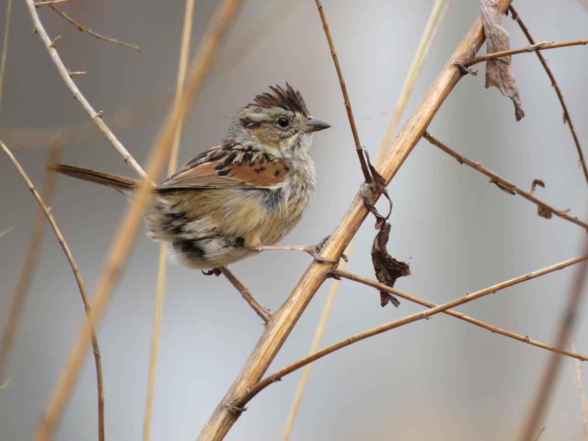 Swamp Sparrow, photo: Eric Gyllanhaal