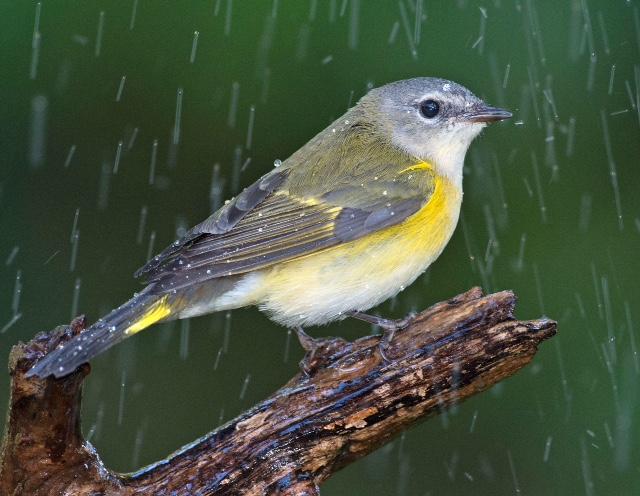 Female American Redstart  Photo by Randy Streufert – Audubon Photography Award