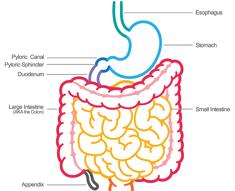 The gastrointestinal tract diagram