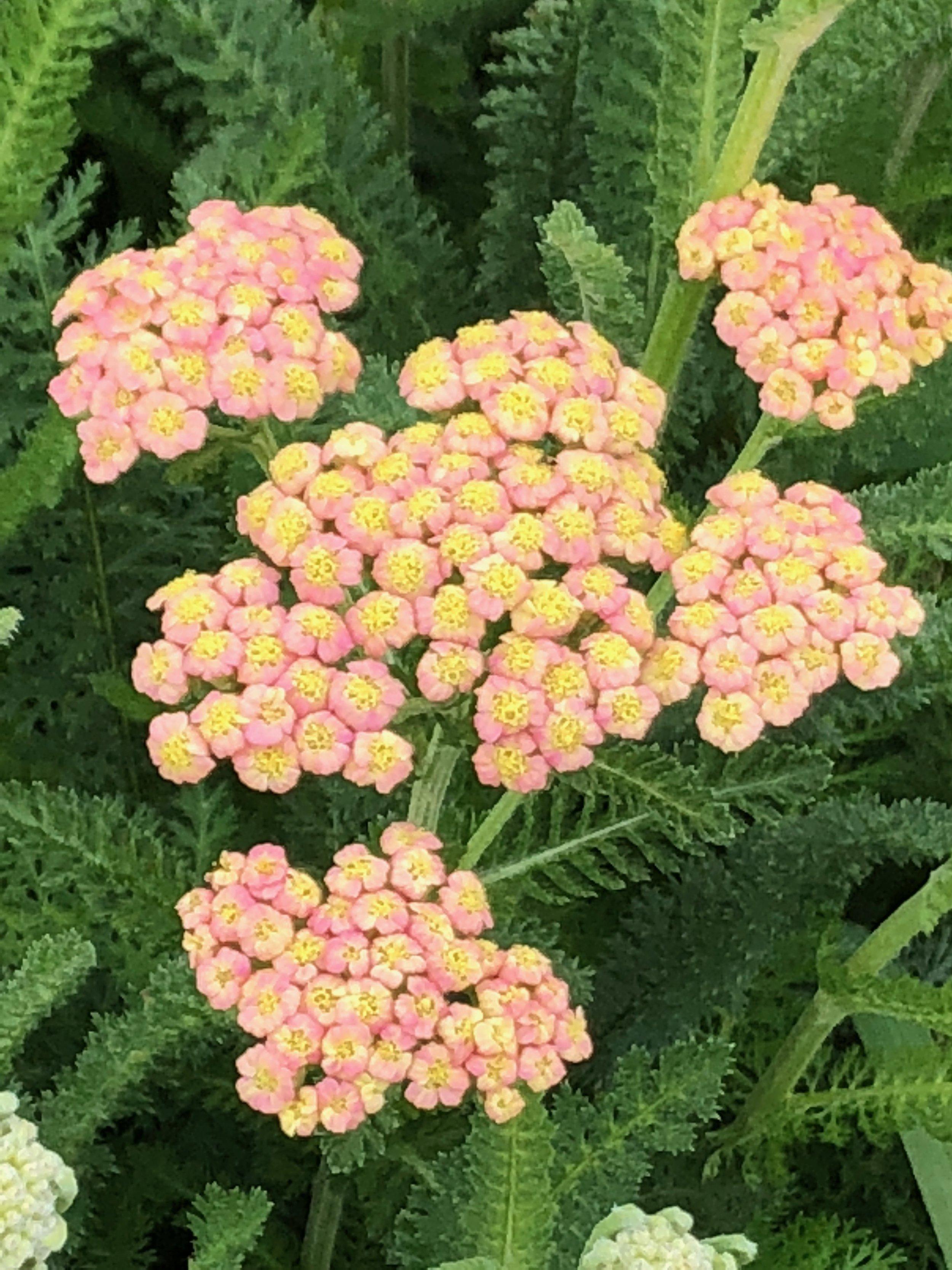 August: Amaranth, Celosia, Chocolate Lace Flower, Globe Amaranth, Queen Ann's Lace, Rudbeckia, Sunflowers, Yarrow, Zinnias, Scented Geraniums -