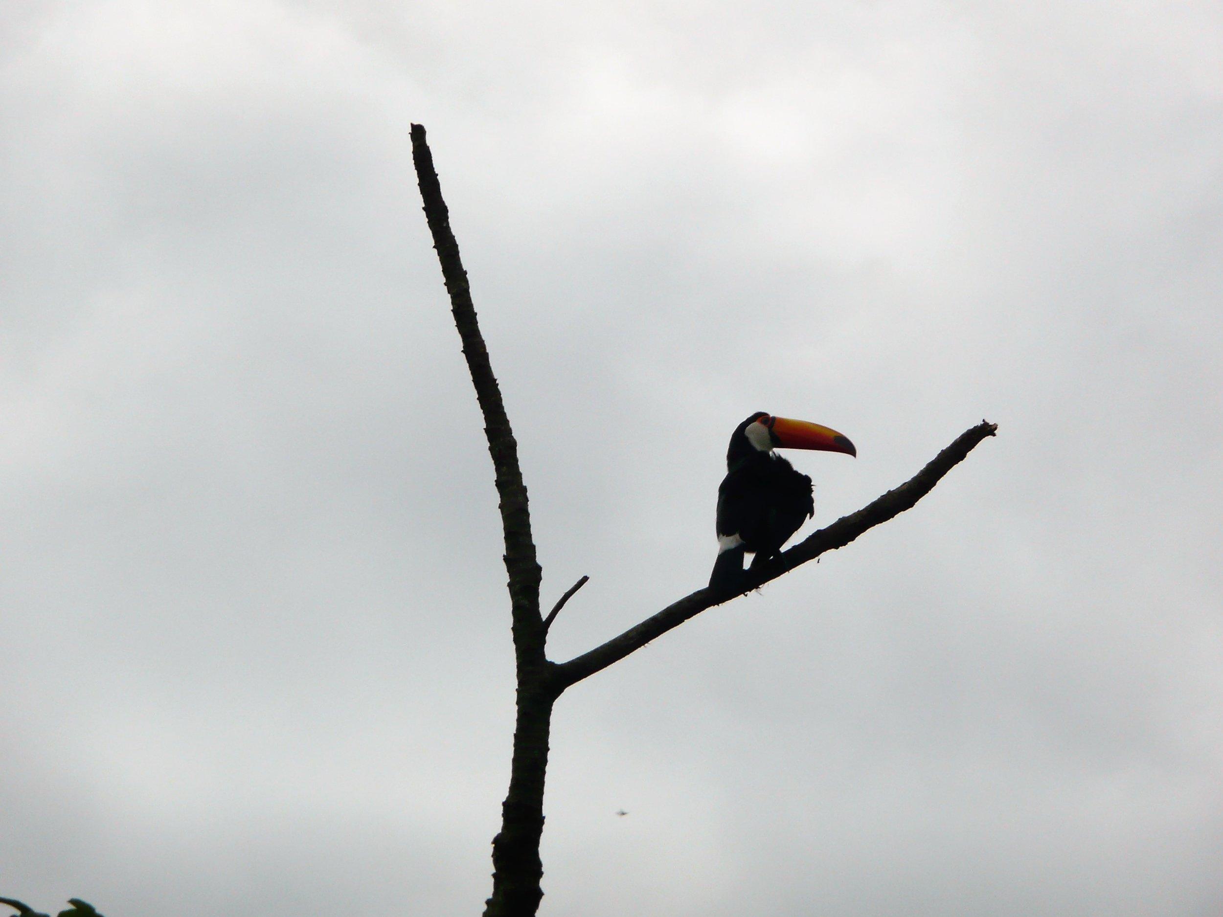 Tucan in the wild (Brazil)