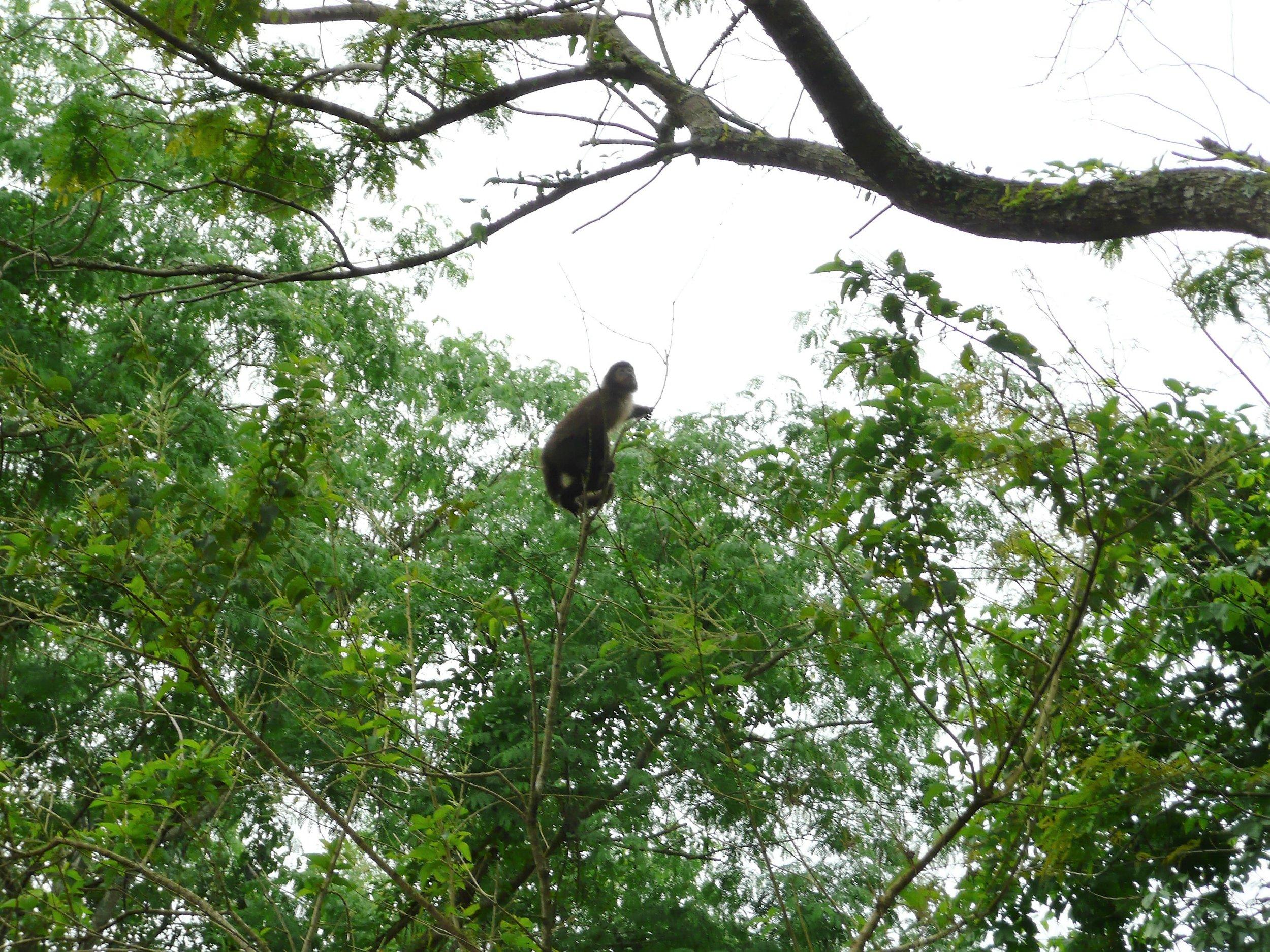 Capuchin monkey in the wild (Brazil)