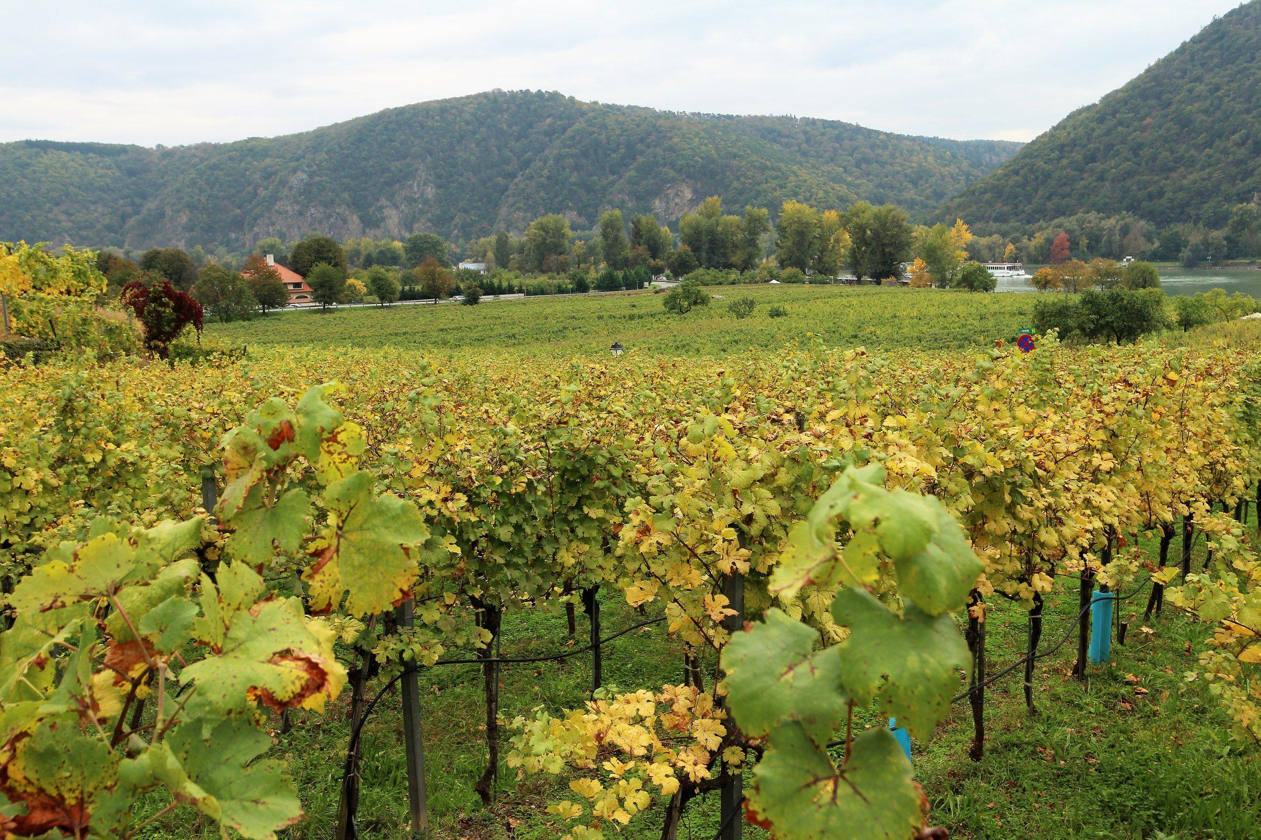 Vineyards in the Wachau Valley, Austria