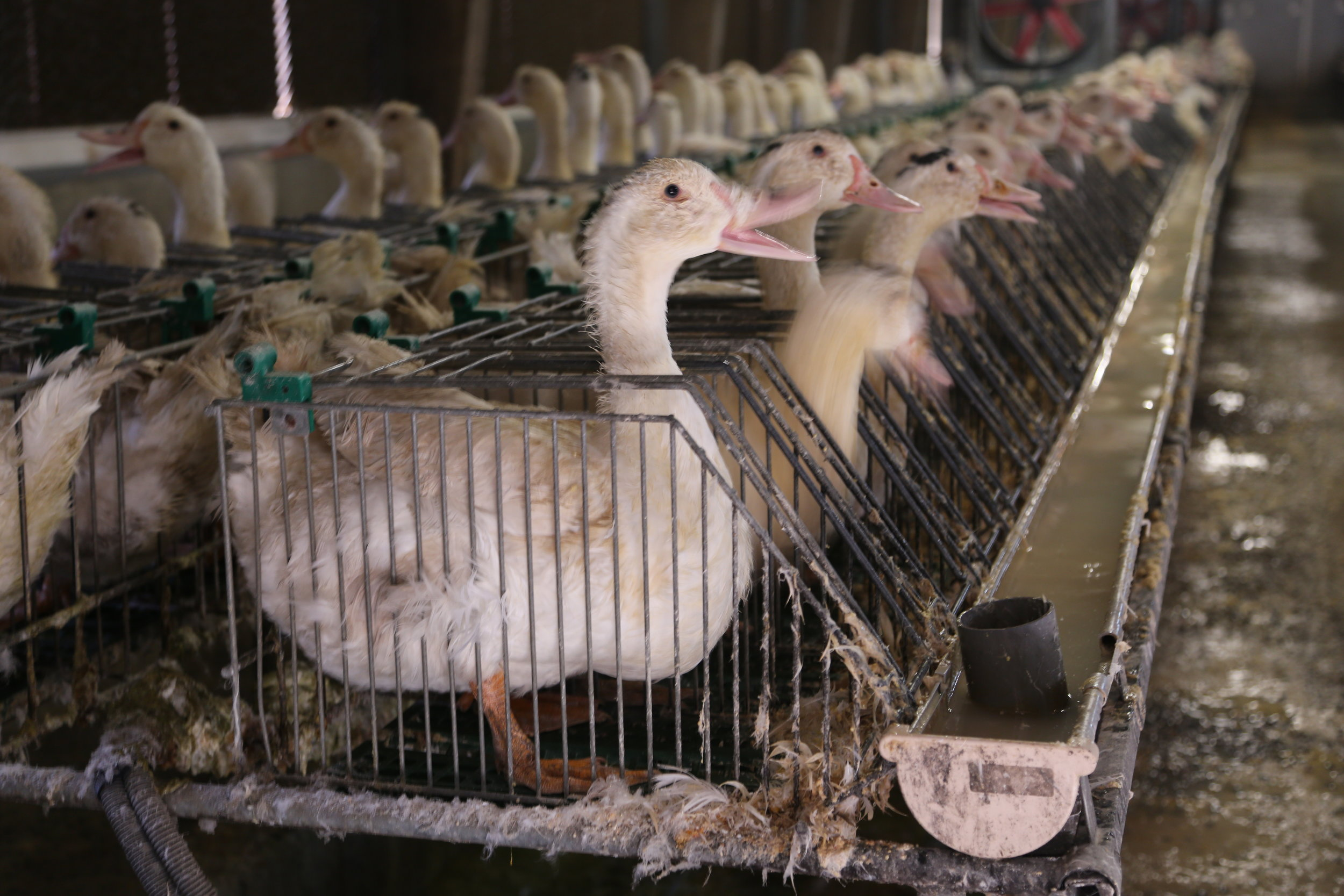 06-foie-gras-cages-individuelles-France-2012.jpg