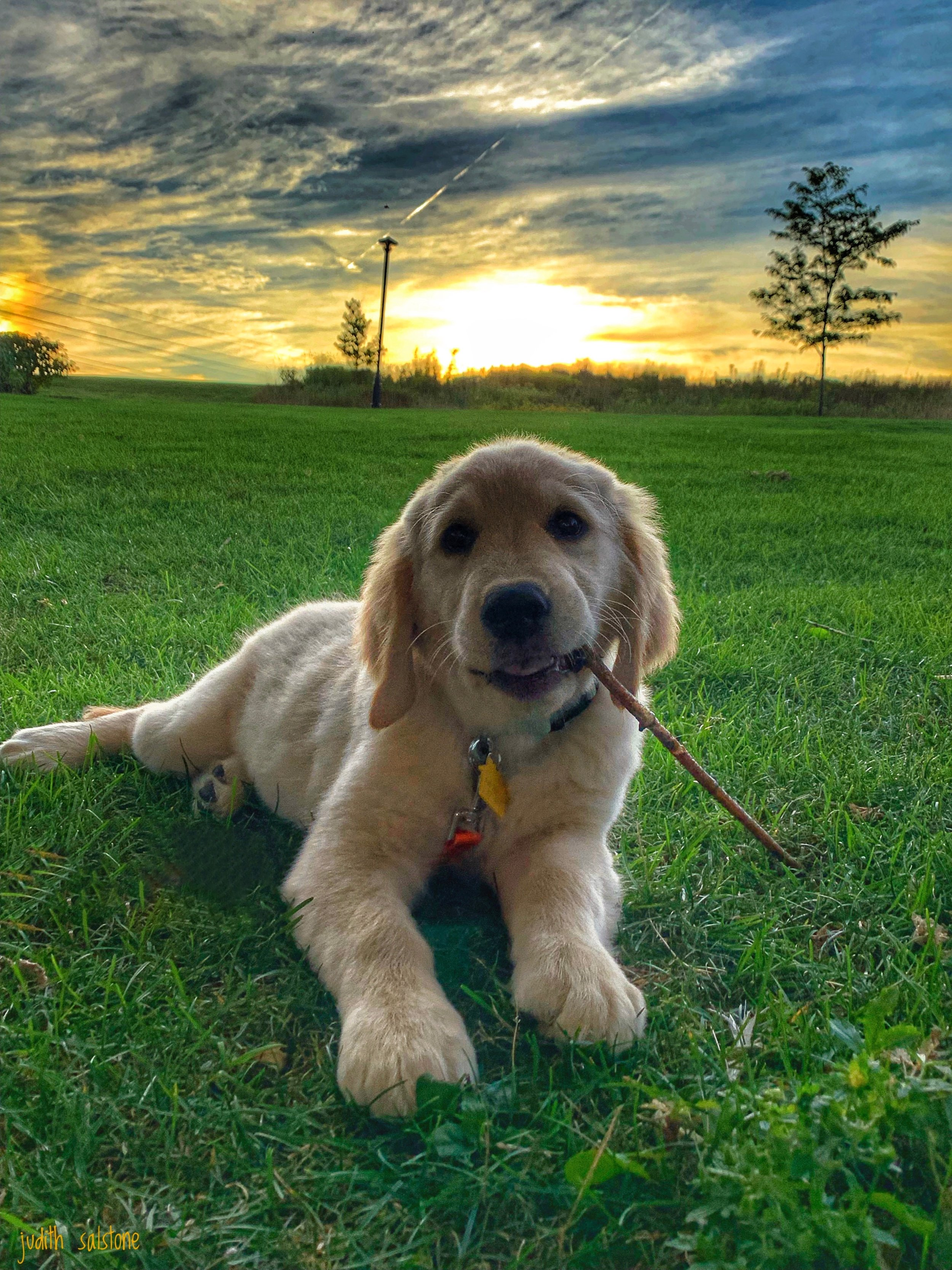 Puppy GoldenRetriever