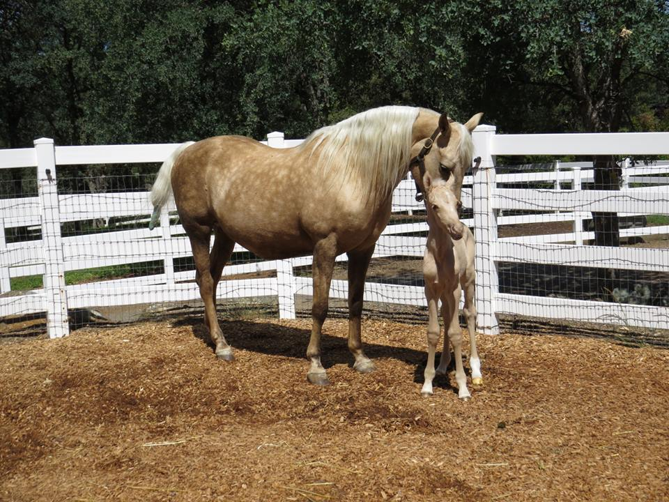 Palomino Mare and Foal.jpg