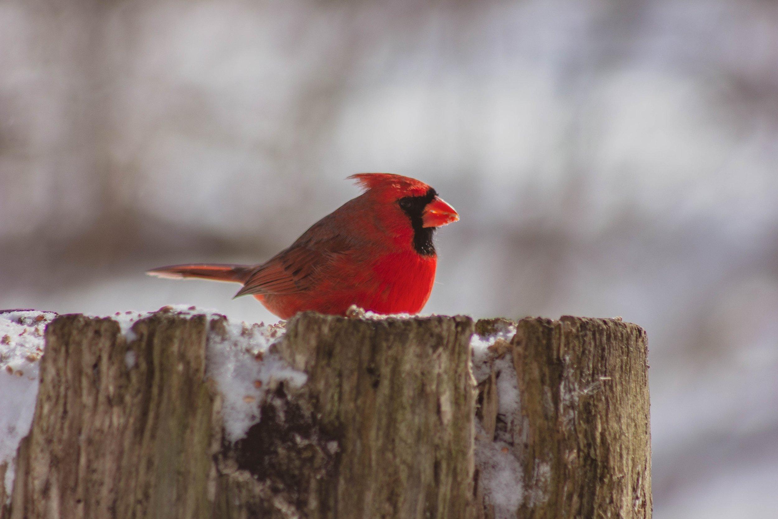cardinal-lauriekehler.com.jpg