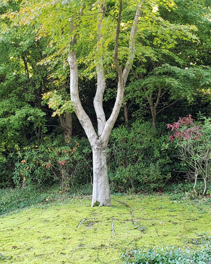 The 3-trunk tree was conducive to meditation.