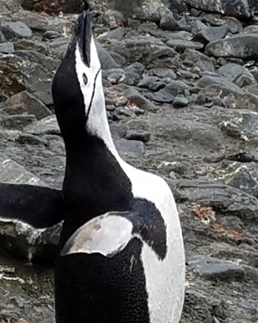 Chinstrap penguin calling