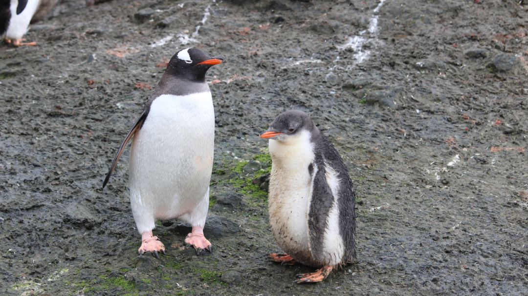 Adult Gentoo penguin and chick