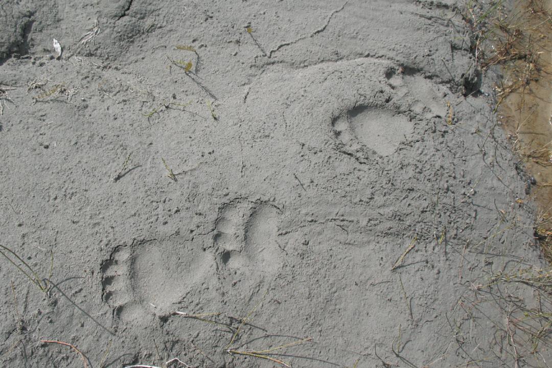 Bear tracks, 2009