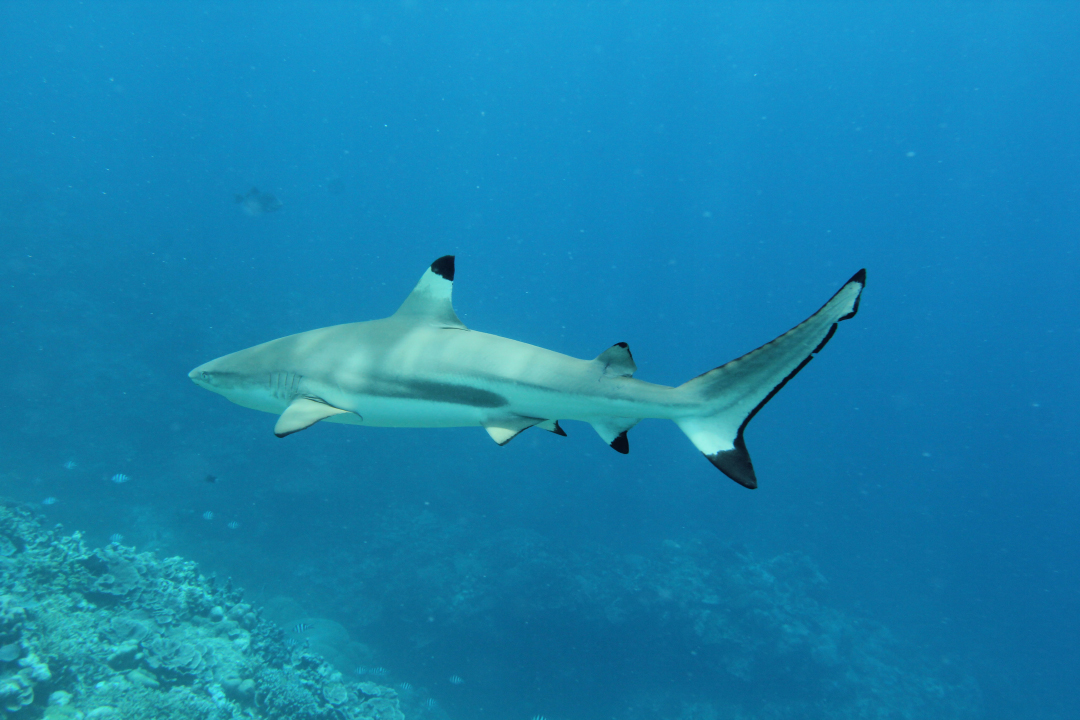 Black-tipped Shark! (Harmless.) Photo by Ron Leidich
