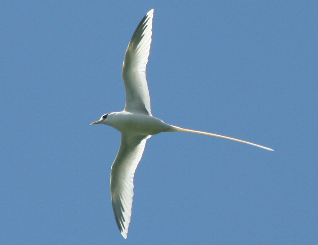 The Tropic bird in flight. Photo by Ron Leidich.