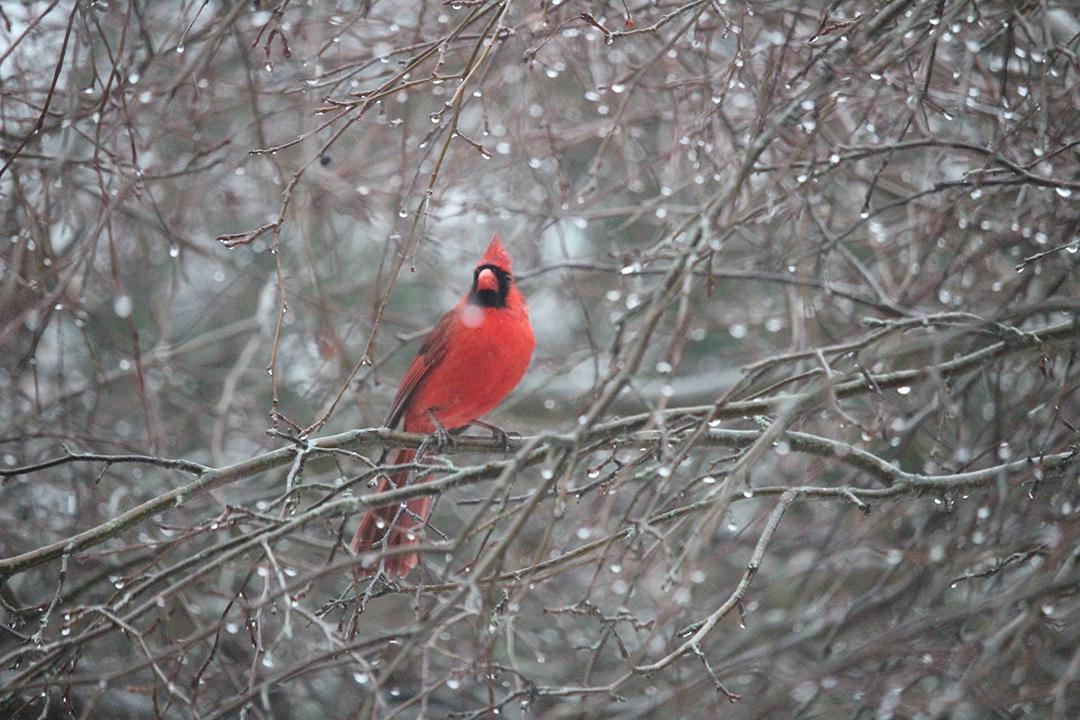 2017.03.Cardinal02.JPG