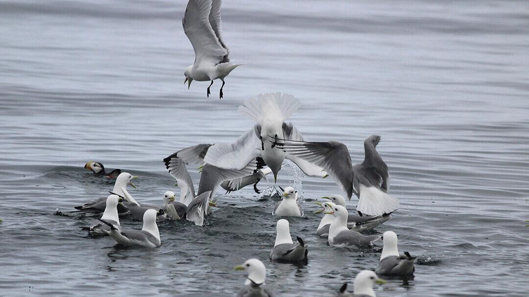 Birds dive with enthusiasm into a bait ball